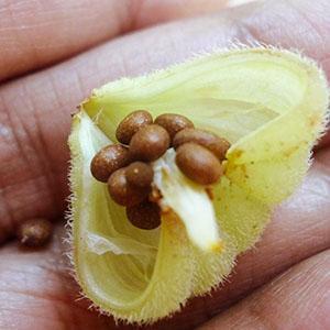 Семена бальзамина