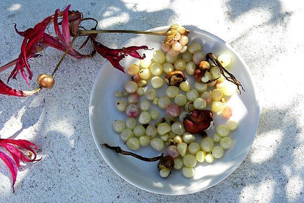 Семена и детки амариллиса для размножения