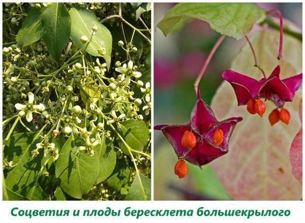 Соцветия и плоды бересклета большекрылого