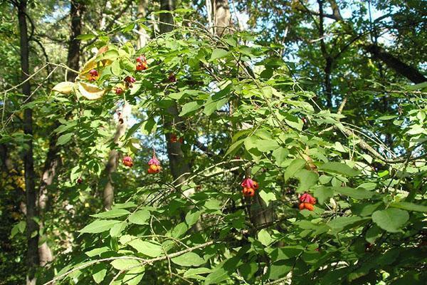 У выросшего в тени бересклета мало листьев и тонкие ветки
