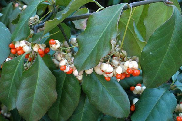 Ветка бересклета Форчуна с плодами