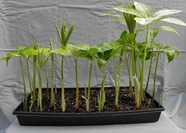 Выращивание аморфофаллуса дома
