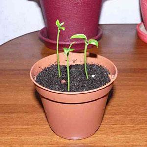 Выращивание бугенвиллии из семян