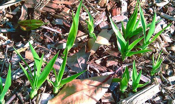 Выращивание драцен из семян