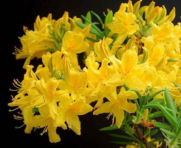 Ядовитые вещества есть и в цветах азалии