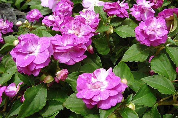 Яркие цветы бальзамина