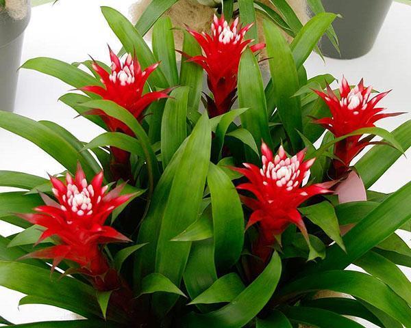 Яркое цветение гузмании