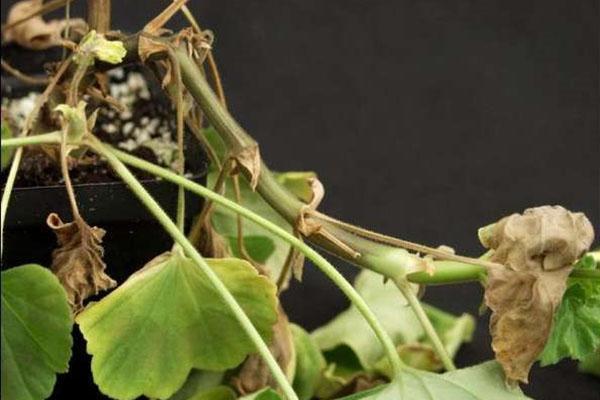 Больное растение необходимо обработать фунгицидами