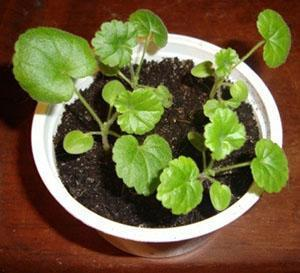 Чтобы герань быстро зацвела, в один горшок сажают несколько растений