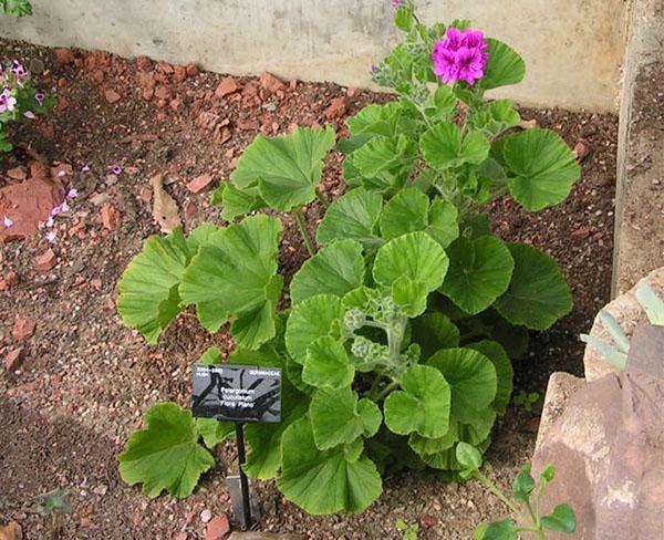 Чтобы заставить герань цвести, посадите ее в саду