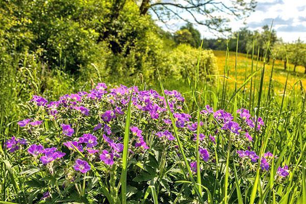 Цветение герани лесной в природе