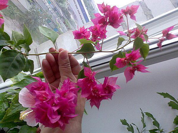 Цветение клеродендрума дома
