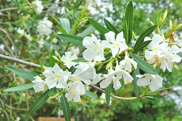 Цветение олеандра начинается в июне месяце