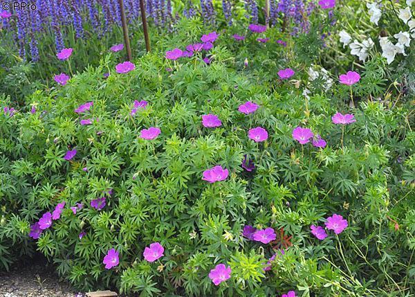 Цветение садовой герани
