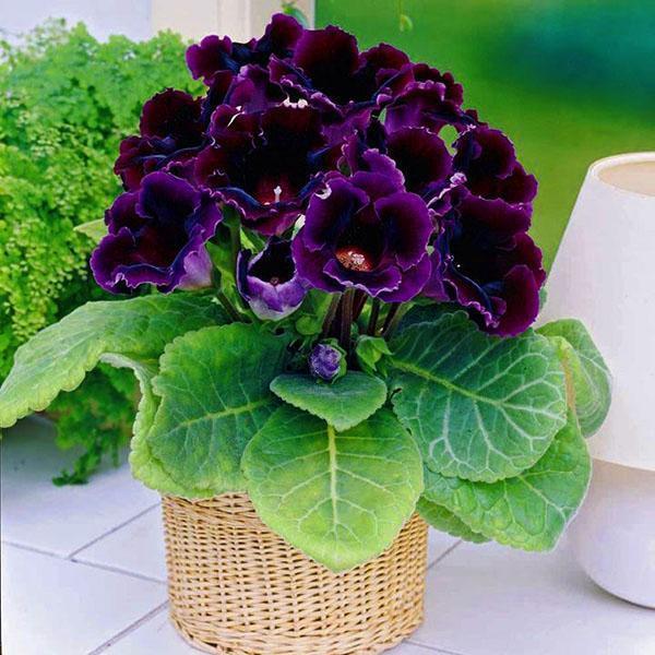 Цветет глоксиния на подоконнике