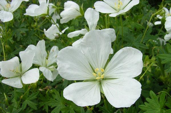Цветок герани садовой сорта Album