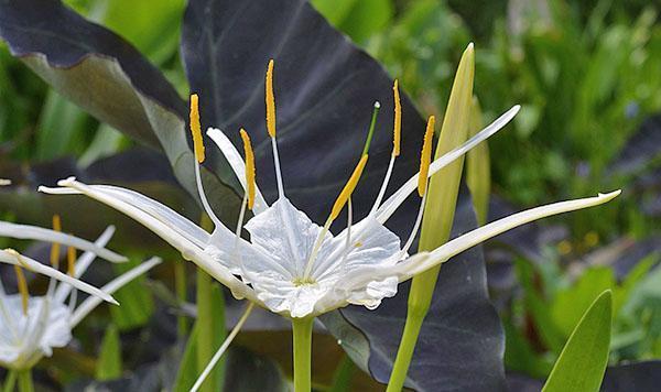 Цветок гименокаллиса
