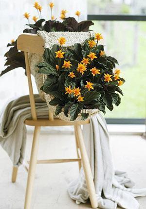 Цветок калатеи Кроката в интерьере
