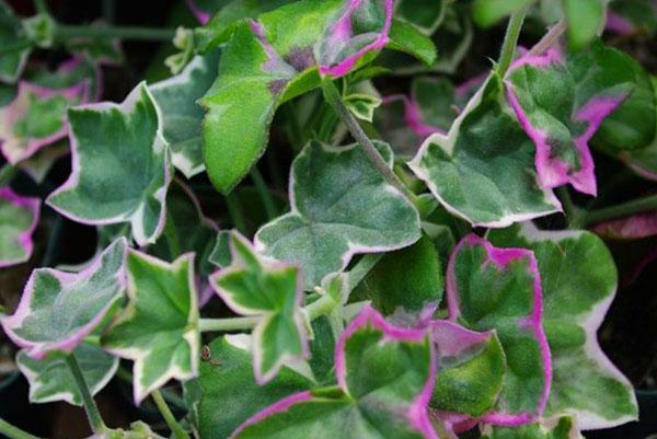 Декоративная листва ампельной герани