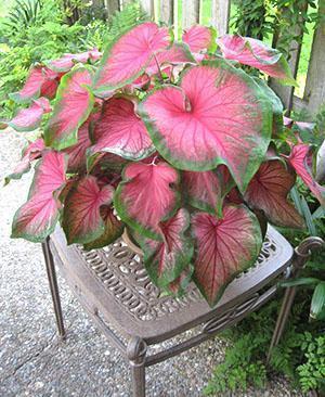 Декоративное лиственное растение Каладиум