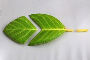 Деление листка глоксинии для размножения растения