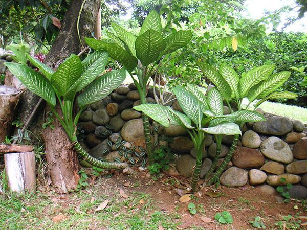Диффенбахия в саду