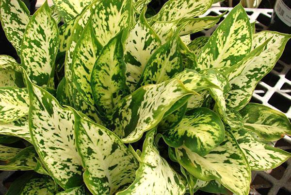 Диффенбахию со светлыми листьями нужно ставить в самое светлое место помещения