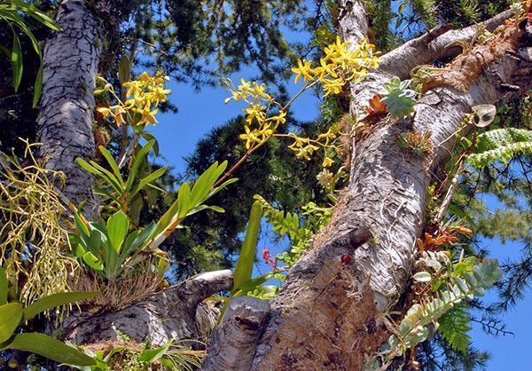 Дикорастущая орхидея-эпифит