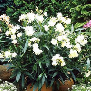 Для получения обильного цветения растение нужно обрезать