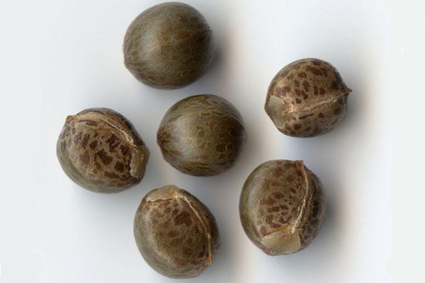 Для размножения кротона используют семена растения