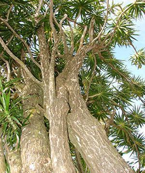Драцена маргината в природе