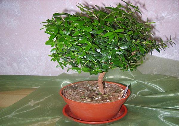 Формировка штамба растения