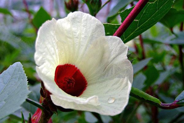 Гибискус розелла или Hibiscus sabdariffa