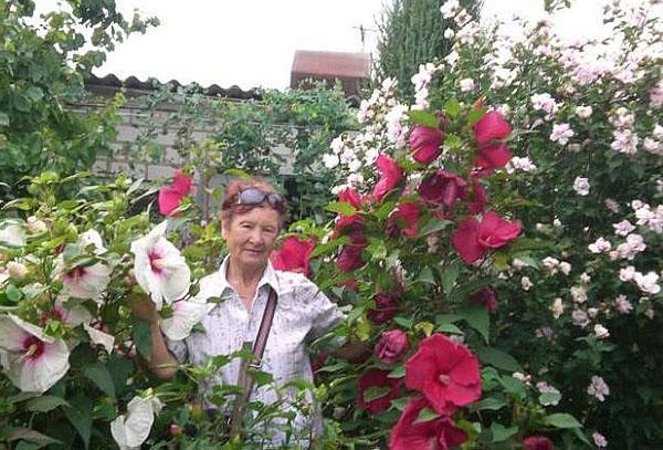 Выращиваем садовый гибискус: как подготовить гибискус к зиме