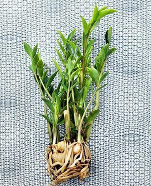 Клубни растения и корни нужно очистить от старого грунта