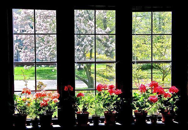 Герань комнатная - фото, виды, уход, размножение, польза цветов