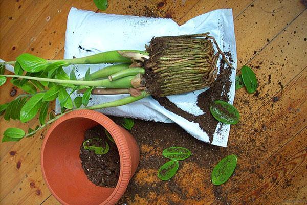 Корни растения заполнили горшок и срочно нужна пересадка