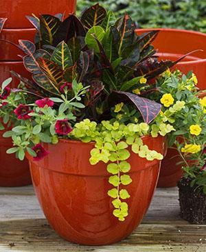 Кротон в одном горшке с другими растениями
