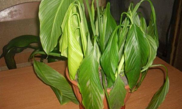 Листья калатеи поникли и стали менять цвет
