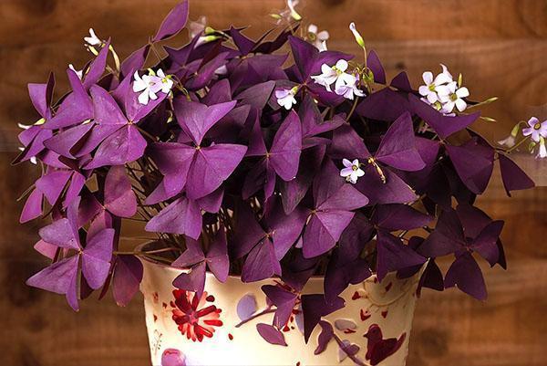 Лучше всего растение растет на западных и восточных окнах