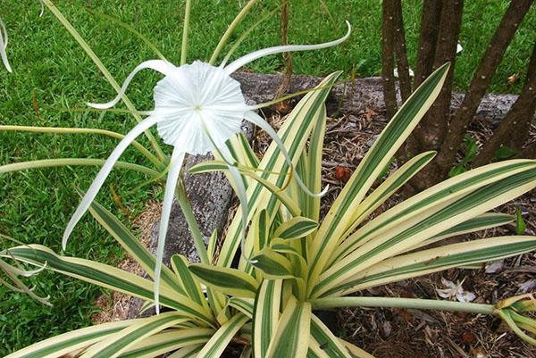 Луковичное растение гименокаллис