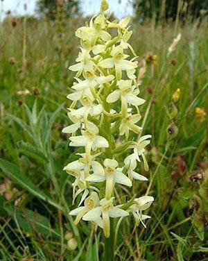 Любка двулистная, наземная орхидея средней полосы
