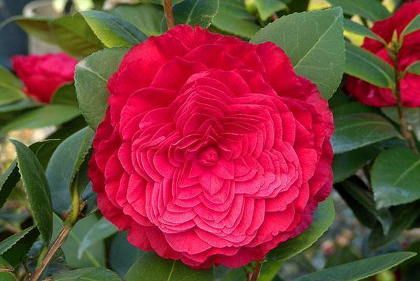 Махровый цветок камелии комнатной