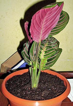 Маранта трёхцветная или молящийся цветок