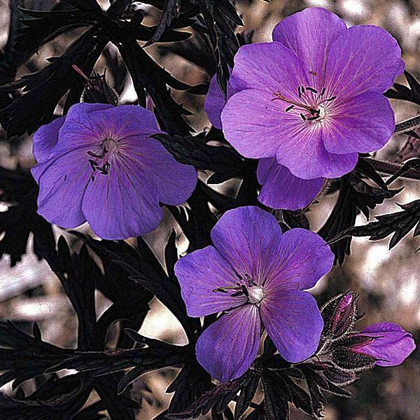 Многолетняя садовая герань сорта Purple Haze