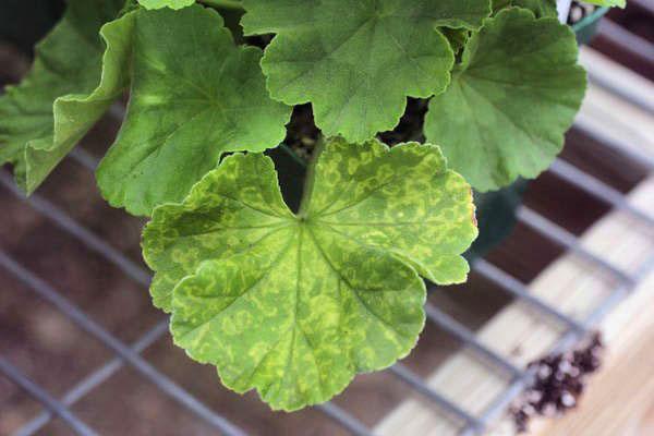На листе герани вирусное заболевание