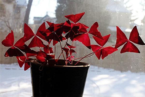 Некрупное теплолюбивое растение кислица Регнели