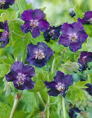 Необычные цветы герани