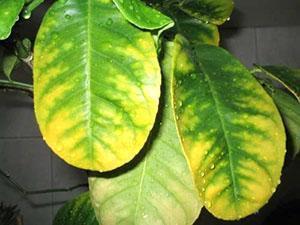 Неправильный уход приведет к пожелтению и сбросу листвы