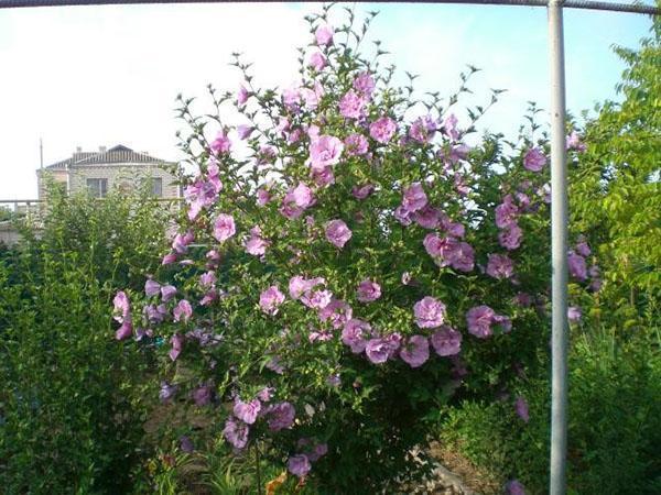 Обильное цветение гибискуса в саду